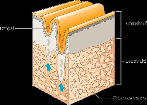 Collageen - structuur van de huid